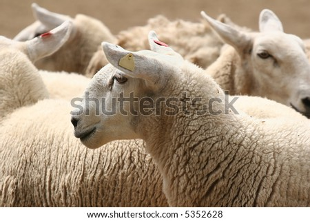 Close-up on a flock of sheep. - stock photo