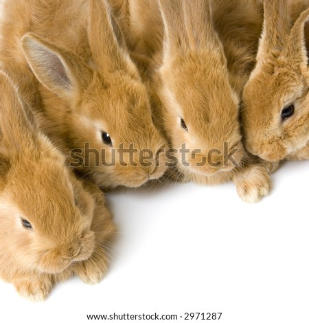 close-up on a group of bunnies in front of a white background - stock photo