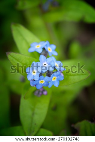 Close-up on a little blue forget me not flower