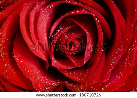 Close up on a red roses covered with dew - stock photo