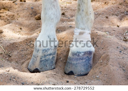 Close up on an injured hourse hoove - stock photo