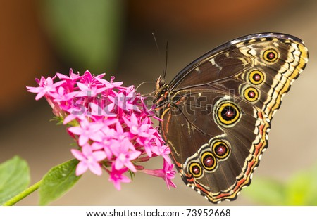 Close up on an owl butterfly. - stock photo