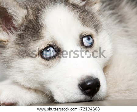 Most Inspiring Puppy Blue Eye Adorable Dog - stock-photo-close-up-on-blue-eyes-of-cute-siberian-husky-puppy-72194308  Trends_471873  .jpg