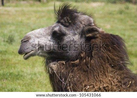 Close up on Head of Bactrian Camel, Camelus bactrianus, Yorkshire Wildlife Park, Doncaster, UK