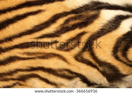 close up on real tiger fur, black beautiful stripes - stock photo