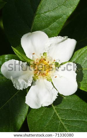 close up on the medlar flower - stock photo