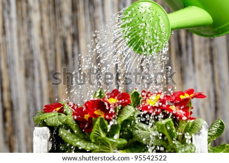 Close up on water pouring from watering can onto blooming flower bed - stock photo