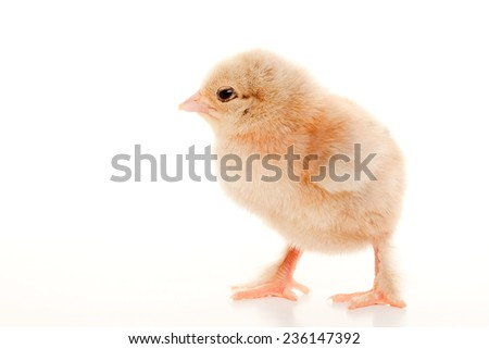 close-up one small fluffy chicken on a light background studio - stock photo