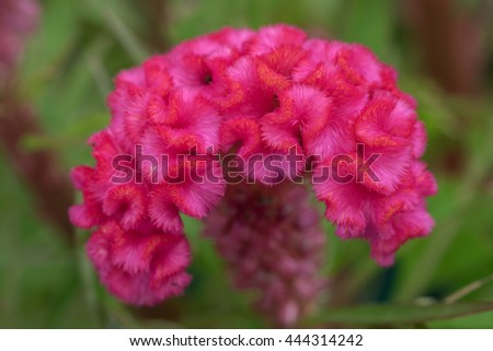 Close up or macro pink cockscomb flower and insect. (Selective focus) - stock photo