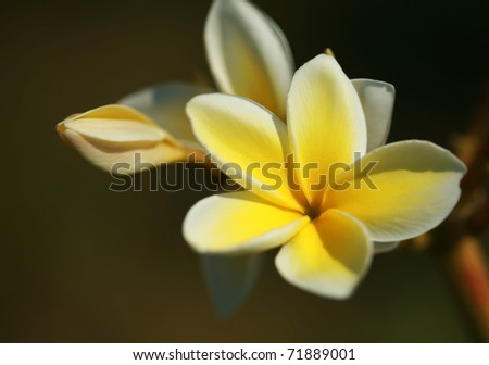 "close up or macro shot of a plumeria ""Frangipani"" flower growing on the island of Maui Hawaii"
