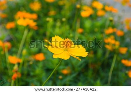 close up Orange daisy  flower in garden - stock photo