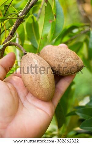 Close up organic sapodilla on hand - stock photo