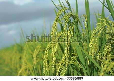 Close-up paddy rice - stock photo