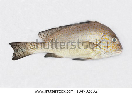 Close up Painted sweetlips fish or Diagramma pictum on white wet cloth in market with morning sunlight - stock photo