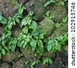 close up parasite plant on stone wall - stock photo