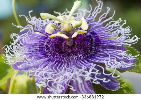 Close up Passionflower - stock photo