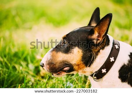 Close Up Pet Bullterrier Dog Portrait At Green Grass - stock photo