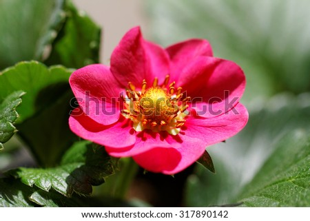 Close up photo a little pink strawberry flower - stock photo