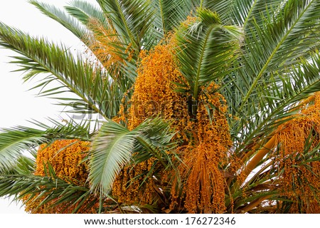 Close up photo of a beautiful date-palm - stock photo