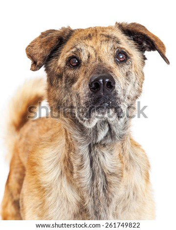 Close-up photo of a beautiful large Labrador and Chow mixed breed dog with brindle markings on his coat. Image taken isolated on a white studio background.