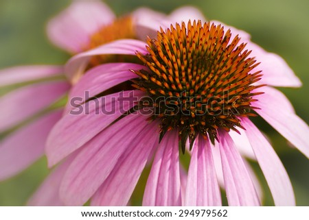 Close up photo of a blooming purple coneflower in a garden. Beautiful perennial flower with a long bloom time.  - stock photo