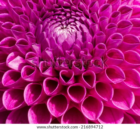 Close up photo of a colorful pink Dahlia flower in full bloom.  - stock photo