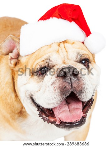 Close-up photo of a cute bulldog breed dog wearing a red Christmas santa hat - stock photo