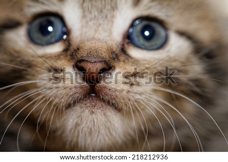 Close up photo of a cute kitten with big blue eyes - stock photo