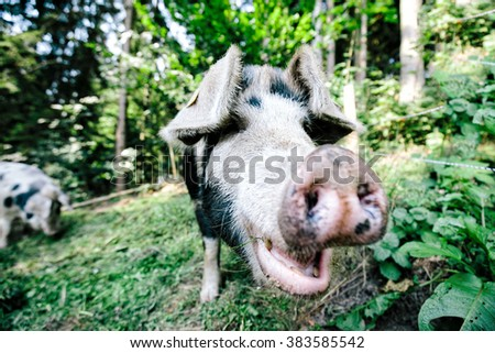 Close up photo of a feral pig / wild boar while it looks into the camera at a farm - stock photo