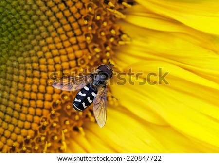Close-up photo of a hover-fly on a Sunflower - stock photo