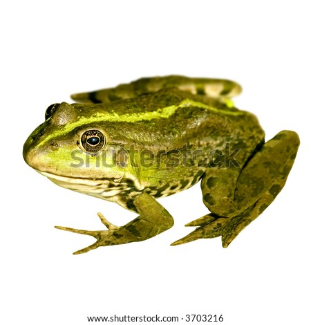 Close up photo of a nice frog isolated on white - stock photo