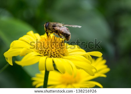 Close-up photo of a Western Honey Bee gathering nectar a on a yellow daisy - stock photo