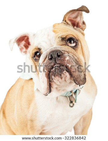 Close-up photo of an English Bulldog breed dog rolling eyes up with a funny expression