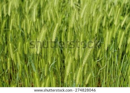 Close up photo of beautiful green grain - stock photo