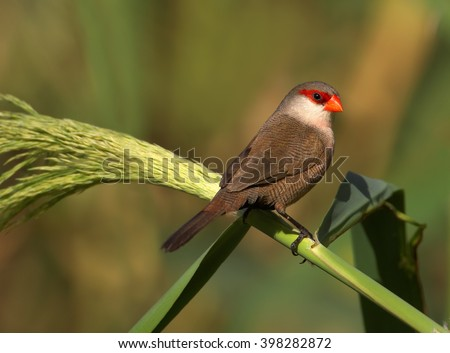 Close up photo of Common Waxbill, Estrilda astrild, small colorful african bird with red beak and red eye stripe perched on a green reed stem against blurred background. Madeira Island. - stock photo