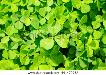 Close up photo of green clover grass - stock photo