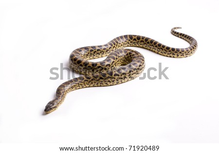 Close up photo of huge and dangerous anaconda snake (Eunectes murinus) ready to attack on white background isolated, a lot of copyspace available, macrophotography - stock photo