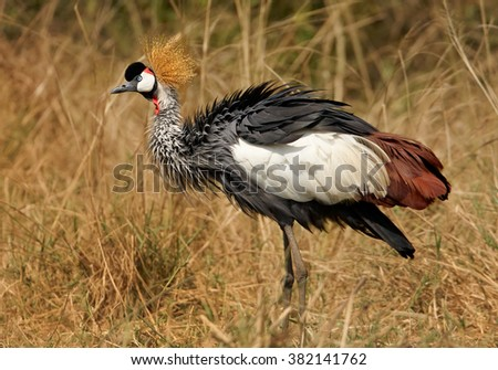 Close up photo of national bird of Uganda, Grey Crowned Crane, Balearica regulorum on the riverbed of Nile against dry reed in background. Murchison falls, Uganda  - stock photo