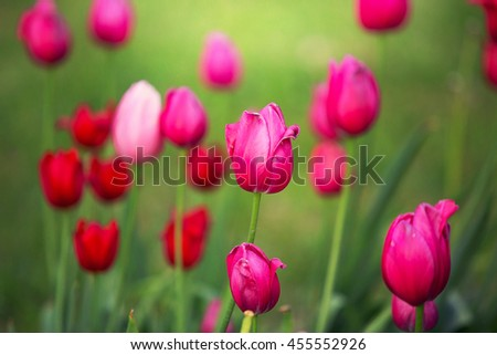 Close up photo of pink tulips on a green background