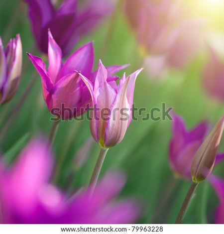 Close up photo of pink tulips with sun beam - stock photo