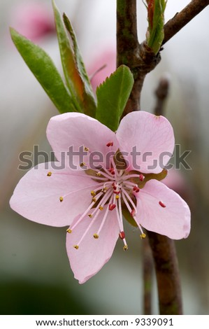 Close-up photo of rosy flower of peach tree - stock photo