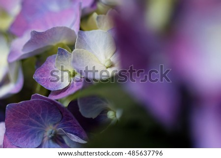 Close up photo of the beautiful and colorful hydrangea