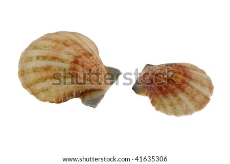 close-up photo of two sea shells isolated on white