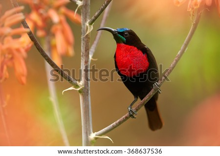 Close up photo Scarlet-chested Sunbird Chalcomitra senegalensis, very colorful nectar feeding african bird,perched on stem among orange flowers. Blurred green,orange background.KwaZulu Natal, SA.  - stock photo
