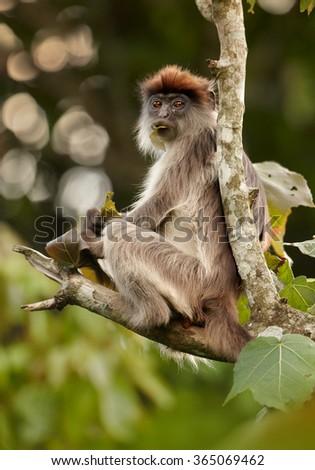 Close up photo Ugandan Red Colobus Piliocolobus tephrosceles on branch,feeding on fruits. They are often hunted by chimpanzees. Blurred green background, nice bokeh, Rainforest, Kibale, Uganda. - stock photo