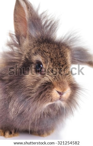Close up picture of a cute lion head rabbit bunny lying on isolated background.