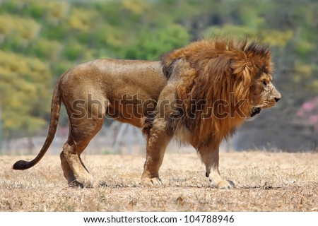 Close Up picture of a male lion on the grass - stock photo