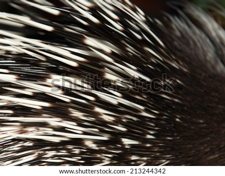 close up picture of a porcupine spine - stock photo
