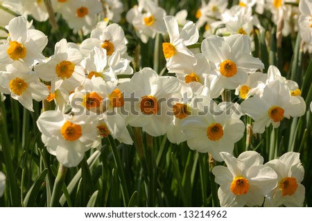 Close up picture of beautiful white daffodisl (narcis, narcissus) - stock photo