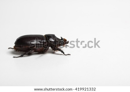 Close-up picture of big insect - Beetle rhinoceros isolated on white background